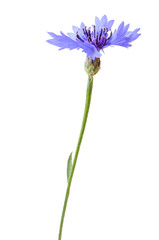 Close up Cornflower
