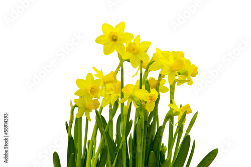 Yellow daffodils isolated on white