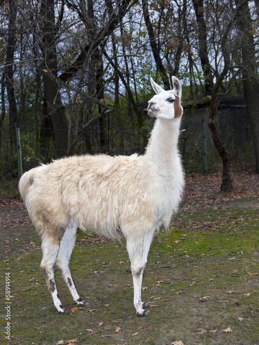 Deurstickers Lama Adult male white Llama (Lama glama) full body