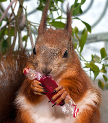 Red squirrel eating candy in a wrapper
