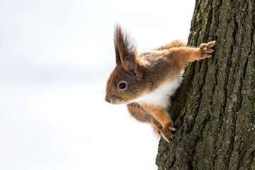 Curious squirrel on tree