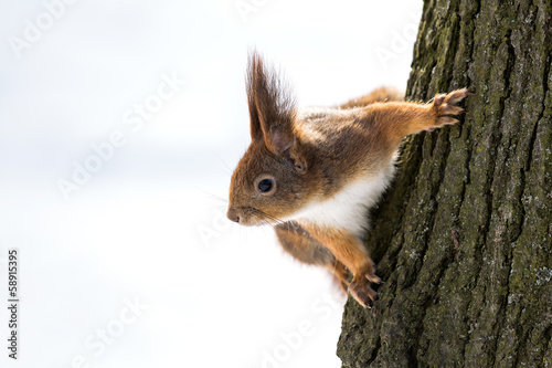 Foto op Aluminium Eekhoorn Curious squirrel on tree