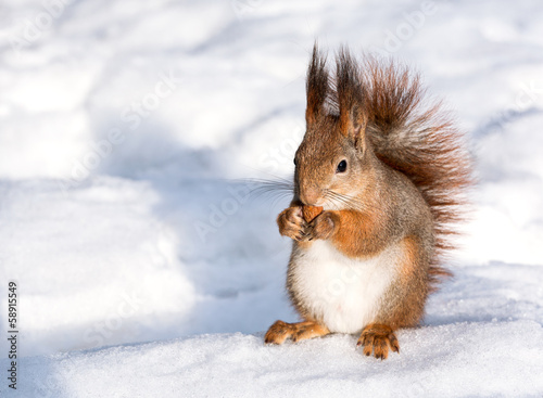 Deurstickers Eekhoorn Red squirrel eat nut