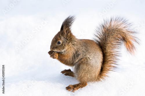 Papiers peints Squirrel Red squirrel on snow