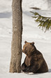 A black bear brown grizzly in the snow background