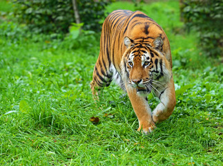 Amur tiger in summer in nature