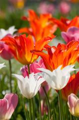 Blühende Tulpen im Frühling