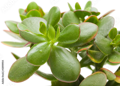 crassula plant isolated