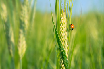 Ladybird on a green barley spikelet