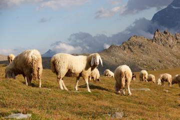 Gregge di pecore in montagna
