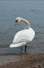 White mute swan turned to see if everything is okay