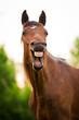 obraz - Bay horse yawning