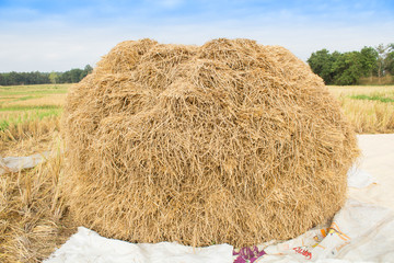 Rice straw  in rice field