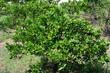 Citrus sphaerocarpa-Cabos-2