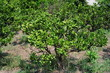 Citrus sphaerocarpa-Cabos-3