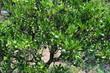 Citrus sphaerocarpa-Cabos-4