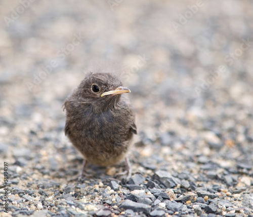 Flightless nestling of blackbird - Turdus merula