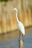 Portrait of Eastern Great Egret (Ardea modesta)  in nature