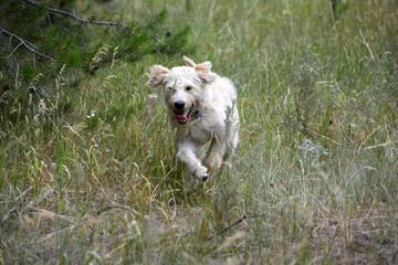 Running Labradoodle poppy