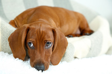 Little cute dachshund puppy
