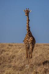 Giraffe with birds on neck