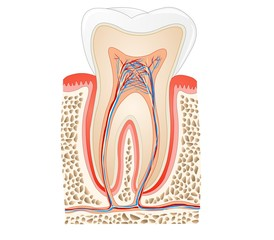 tooth medical anatomy