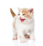 kitten meowing. isolated on white background poster