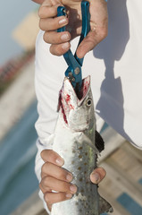 Angler using pliers to remove hook from a Mackrel fish