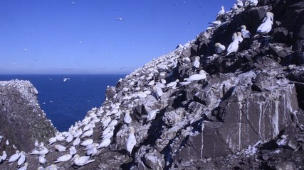 gannet Morus bassanus