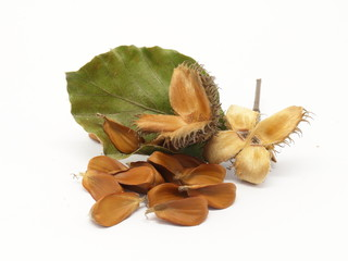 European beech fruits, pile of seeds and foliage