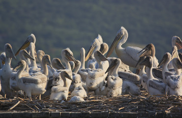 Dalmatian Pelicans and chicklings on their nest
