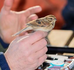 Ornitologo con un Migliarino di palude