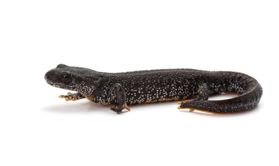 Side view of a Great Crested Newt on a white background