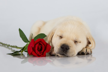 Labrador puppy sleeping on white with red rose