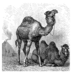 Camels (african & asian)