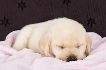 Puppy labrador sleeping on pink fluffy blanket