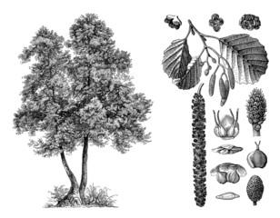 Tree : Alder (Alnus Glutinosa) - Aulne - Erle