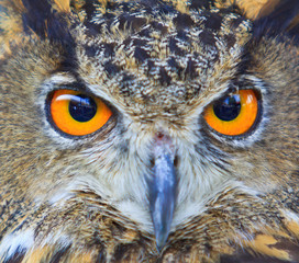 Closed up of eagle owl