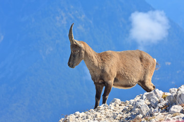 Alpine Ibex female on the Montagio mountain, Italy