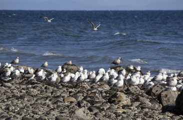 Group of Seagulls (Laridae) on Beach