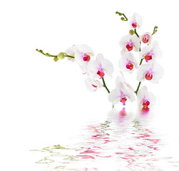 white orchids on water - isolated