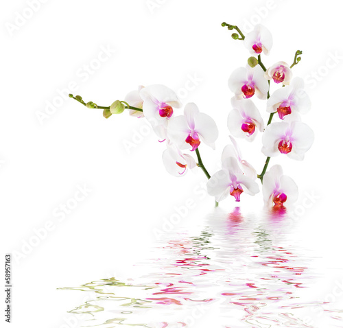 Fototapety, obrazy : white orchids on water - isolated
