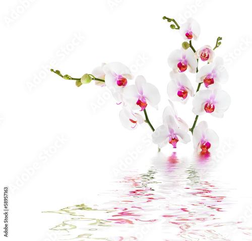 Zdjęcia na płótnie, fototapety na wymiar, obrazy na ścianę : white orchids on water - isolated