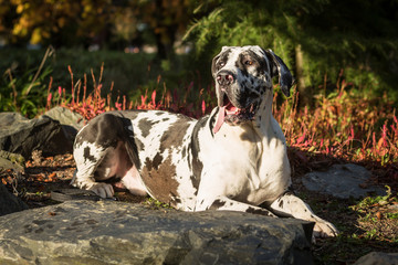 Charlie the Great Dane