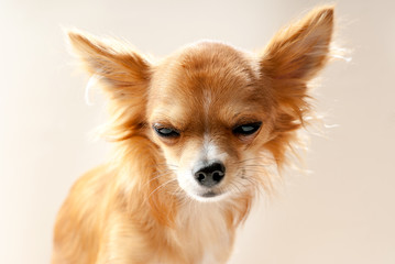 chihuahua dog head with  disgruntled expression  close-up