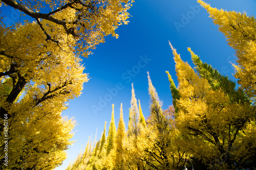 Ginkgo trees against blue sky
