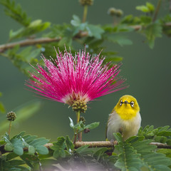 Oriental white-eye bird in red powderpuff tree