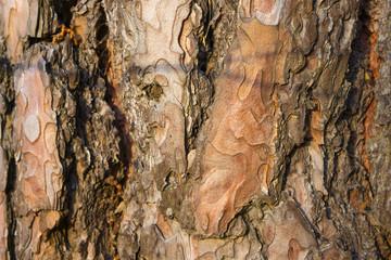 Pine tree bark texture.