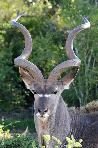 In de dag Antilope Kudu Antelope Portrait