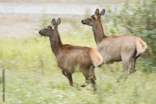 elk deers while running